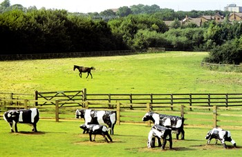 The Concrete Cows - with horse - at Bancroft, Milton Keynes
